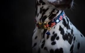 Picture spot, collar, animal, pet