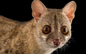 Picture animals, look, background, mammals, chord, predatory, viverrids, genetta, Genet, geneti