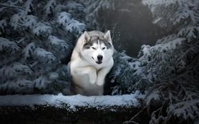 Picture winter, snow, trees, nature, animal, jump, dog, ate, husky, dog, Anna Oris