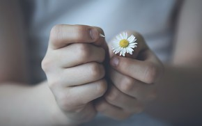Picture flower, hands, Daisy