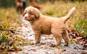 Picture autumn, leaves, nature, dog, baby, red, puppy, path, Retriever, Nova Scotia duck tolling, Nova Scotia …
