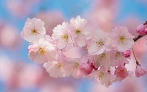 Picture nature, cherry, background, branch, Sakura, flowering
