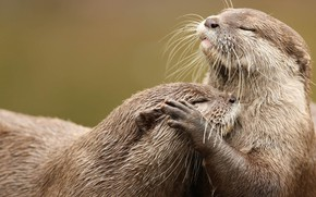 Picture the game, pair, rodent, East beskostnaya otter