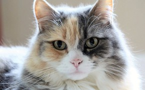 Picture cat, look, muzzle, fluffy