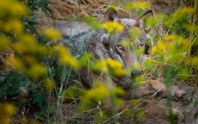 Picture grass, eyes, look, face, flowers, nature, pose, grey, wolf, paws, yellow, lies, bokeh