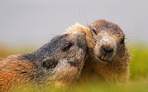 Picture nature, meadow, prairie dog
