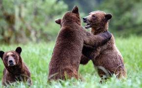 Picture fight, rivals, the game, two, bear, competitors, nature, bears, glade, bears, pair, brown, grass, two …