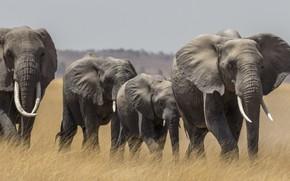 Picture Savannah, Africa, elephants, the herd