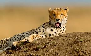 Picture language, pose, background, mouth, Cheetah, lies, Zev