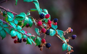 Picture nature, berries, background