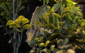 Picture look, nature, chameleon, foliage