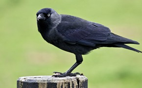 Picture nature, bird, crow