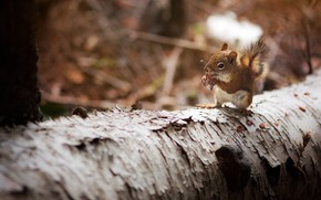 Picture autumn, forest, look, nature, pose, background, tree, baby, protein, log, bark, bokeh, rodent, squirrel