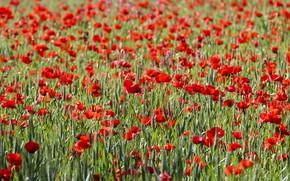 Picture summer, flowers, Maki, meadow, red, a lot, poppy field