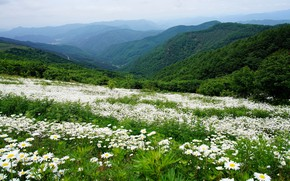 Picture greens, forest, summer, flowers, mountains, hills, the slopes, view, chamomile, meadow, chamomile field