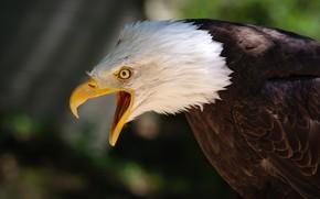 Picture eyes, background, bird, eagle, feathers, beak