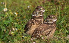 Picture grass, look, birds, company, owls, bokeh, Quartet, four, owls, secici, look up