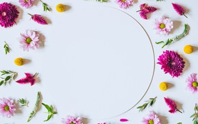 Picture flowers, background, pink, chrysanthemum, pink, flowers