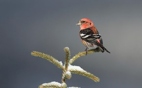 Picture nature, bird, White-winged crossbill