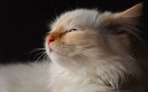 Picture cat, white, face, the dark background, kitty, Neva masquerade, red-point