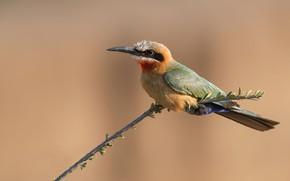 Picture sprig, background, bird, branch, schurka, bald-headed bee-eater