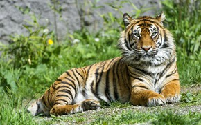Picture grass, look, tiger