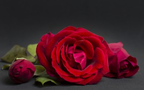 Picture background, rose, plan, red, large