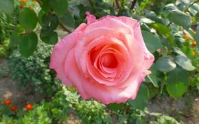 Picture flower, summer, flowers, pink, rose, garden, flowerbed