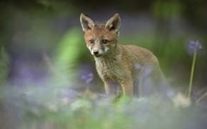 Picture blur, Fox, cub, Fox