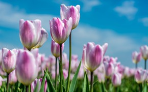 Picture the sky, summer., Tulips pink