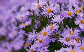 Picture flowers, flowerbed, a lot, lilac, bokeh, asters