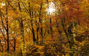 Picture autumn, forest, the sun, trees, yellow foliage