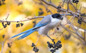Picture branches, berries, bird, fruit, bird, yellow background, black, meal, blue tail