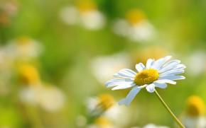 Picture flower, light, chamomile, Daisy, white, green background, bokeh