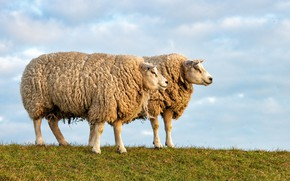 Picture the sky, nature, sheep