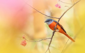 Picture background, bird, branch, Sakura, Caregory long-tailed licenced