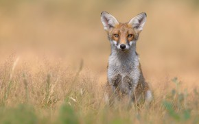 Picture grass, look, Fox, red, bokeh