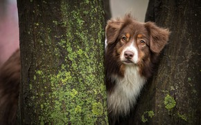 Picture trees, trunks, dog, Aussie