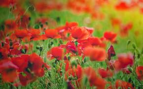 Picture summer, flowers, Mac, Maki, red, green background, poppy field