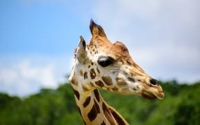 Picture the sky, look, face, portrait, giraffe
