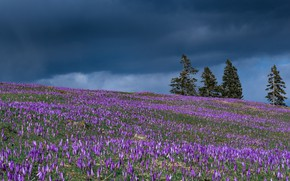 Picture trees, flowers, spring, meadow, crocuses, buds, Slovenia