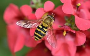 Picture macro, flowers, insect, Gorzalka, Diascia
