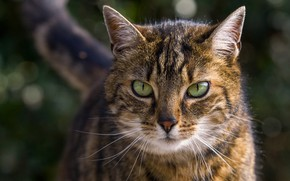 Picture cat, cat, look, face, grey, portrait, striped, green eyes