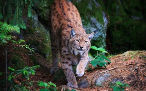 Picture greens, forest, look, face, leaves, branches, nature, pose, stones, background, paws, beauty, lynx, needles, wild ...