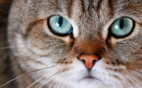 Picture cat, eyes, cat, look, face, close-up, grey, portrait, striped, green eyes, British, Kote, British, handsome, ...