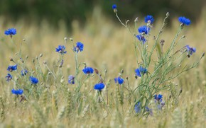 Picture field, summer, flowers, glade, blue, ears, cereals, blue, cornflowers