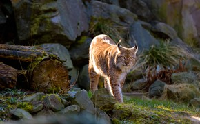 Picture cat, look, pose, stones, walk, lynx, wild, logs