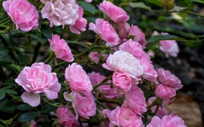 Picture roses, petals, pink, the bushes