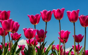 Picture the sky, macro, tulips