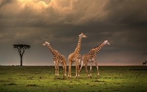 Picture field, the sky, clouds, clouds, tree, giraffe, giraffes, Savannah, three, Africa, trio